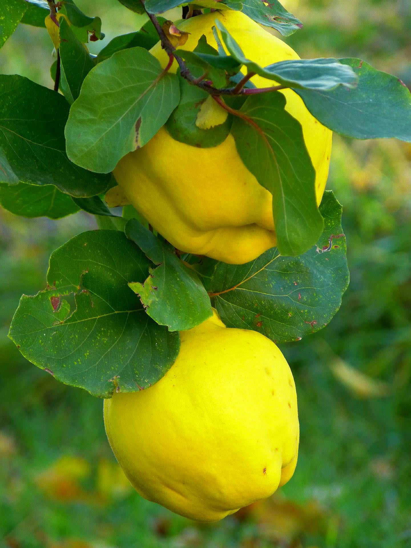 Alte Quittensorten Birnenquittensorten und Apfelquittensorten
