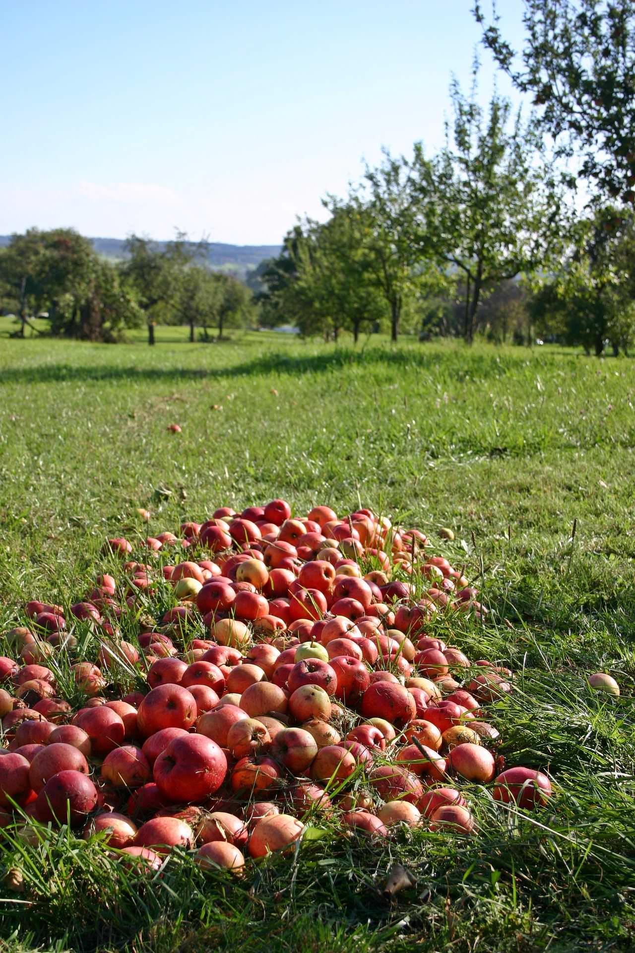 Alte Apfelsorten Winterrambur, Klarapfel, Grafensteiner und Jakob Lebel