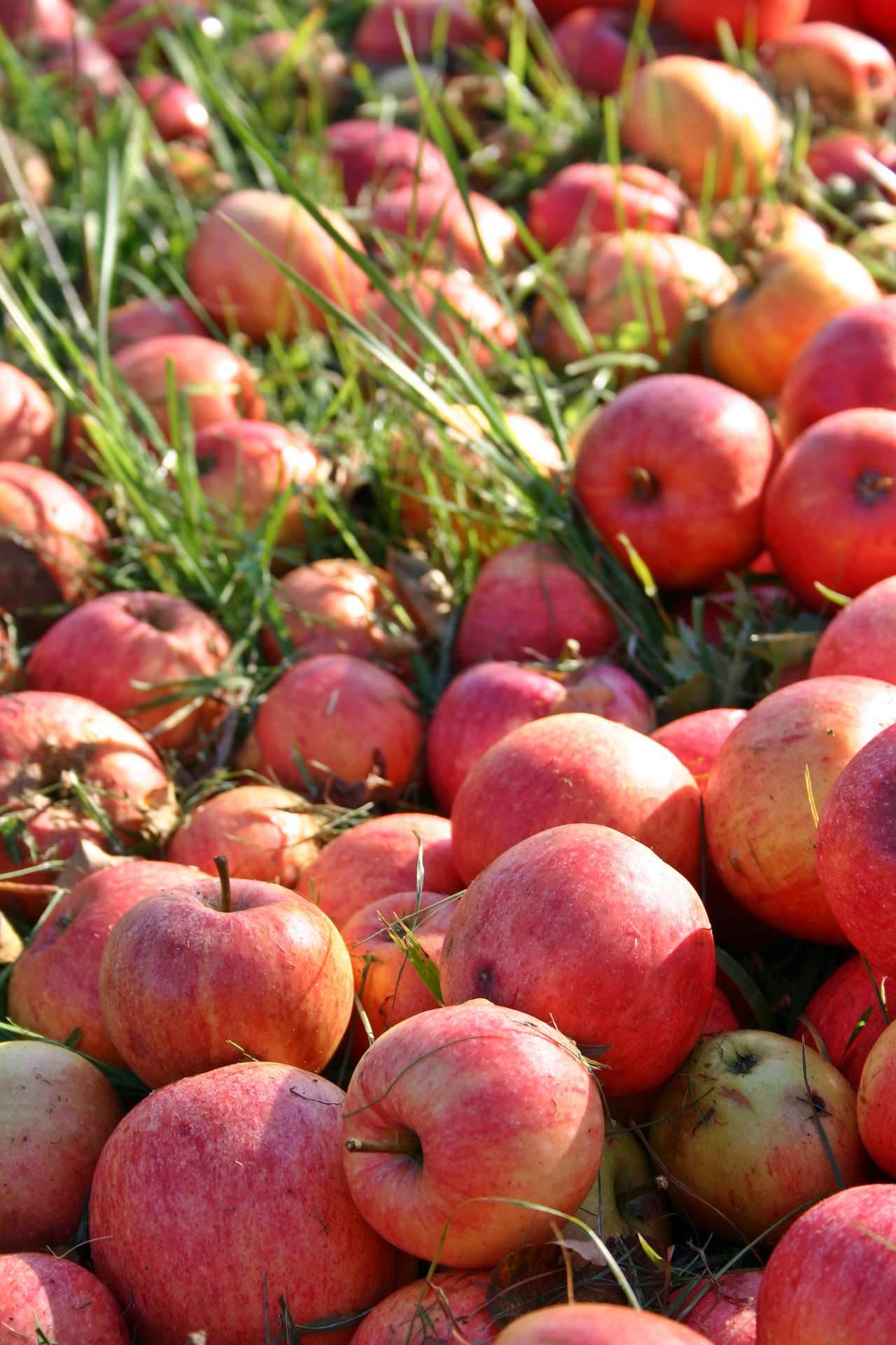 Alte Apfelsorten Boskoop und Jakob Fischer auf Streuobstwiesen